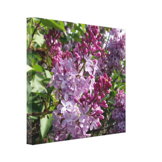 Ohio Purple Lilacs In Spring Canvas Print
