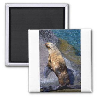 Oil-fouled Harbour Seal Fridge Magnets