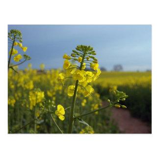Oil seed rape flowers postcard