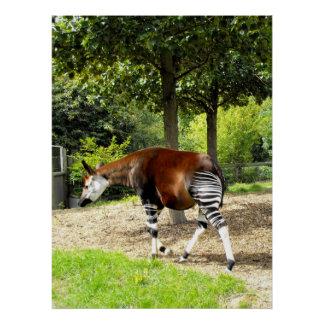 Okapi walking away poster