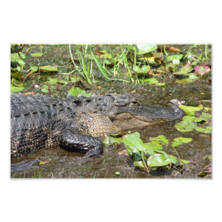 Okefenokee Swamp Park Alligator Photo Print