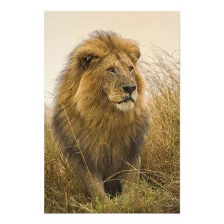 Old adult black maned Lion, Masai Mara Game Photo Print