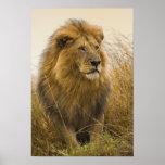 Old adult black maned Lion, Masai Mara Game Poster