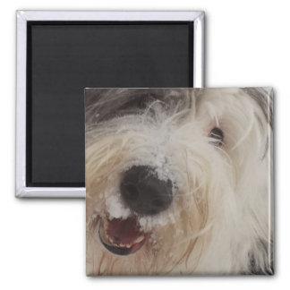 Old English Sheepdog Magnet - Snow Face