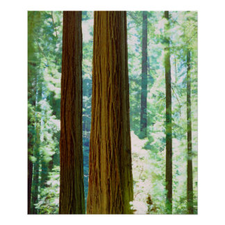 Old-growth Redwood trees Poster