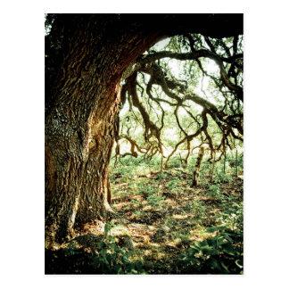 Old Oak Tree Postcard