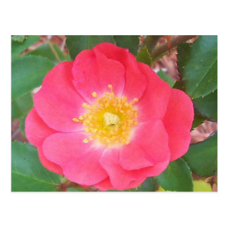 Old School Salmon colored rose Postcard
