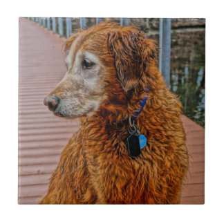 OLDER GOLDEN RETRIEVER ON DOCK TILE