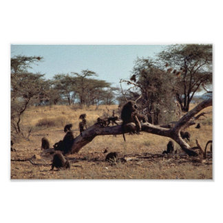 Olive Baboons Poster