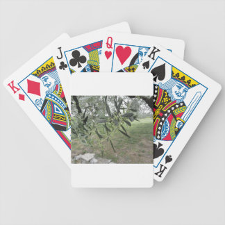Olive tree branches with first buds . Tuscany, Ita Bicycle Playing Cards