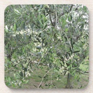Olive tree branches with first buds Tuscany, Italy Coaster