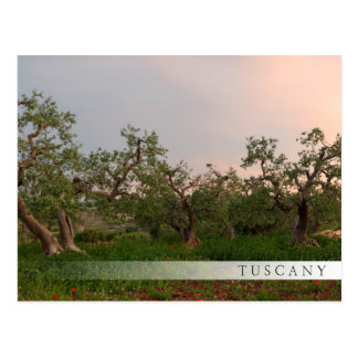 Olive tree grove at sunset bar postcard