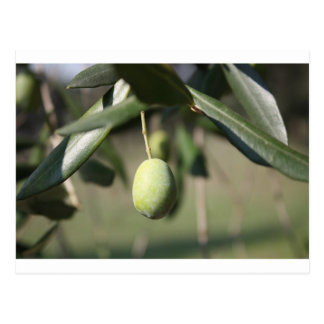 Olive tree in Italy Postcard