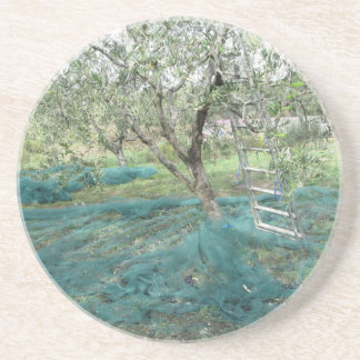 Olive tree in the garden coasters