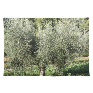 Olive trees in a sunny day. Tuscany, Italy Placemat