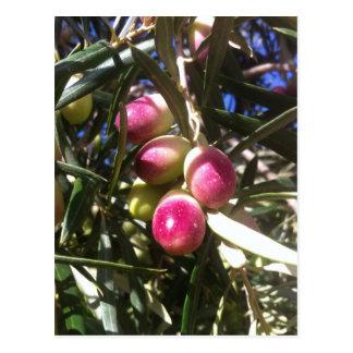 Olivenbaum in Spanien - Postkarte Postcard