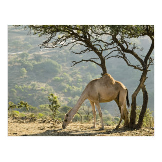 Oman, Dhofar Region, Salalah. Camel in the Postcard