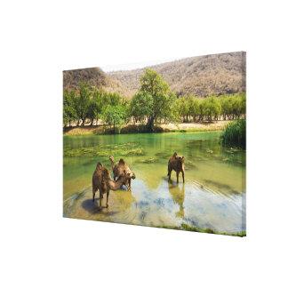 Oman, Wadi darbat, dromedaries pasturing in the Gallery Wrapped Canvas