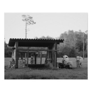 On the Ranch - - Cows -- Black and White Poster