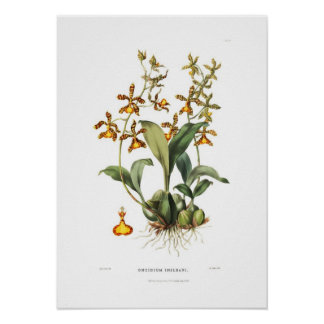 Oncidium insleayi by Miss Drake. Poster
