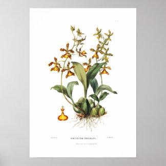 Oncidium insleayi by Miss Drake. Print