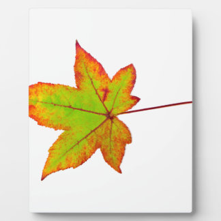 One colorful maple leaf in autumn on white plaque