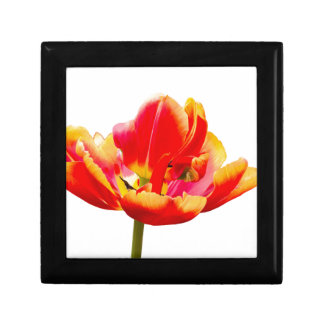 One red tulip flower on white background gift box