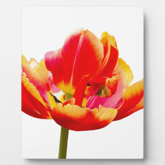 One red tulip flower on white background plaques