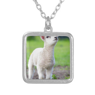 One white newborn lamb standing in green grass silver plated necklace