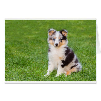 One young sheltie dog sitting on grass card