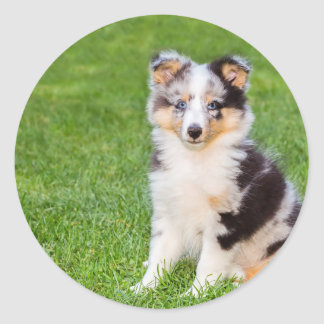 One young sheltie dog sitting on grass classic round sticker
