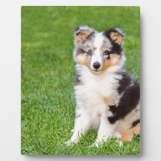One young sheltie dog sitting on grass plaque