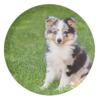 One young sheltie dog sitting on grass plate