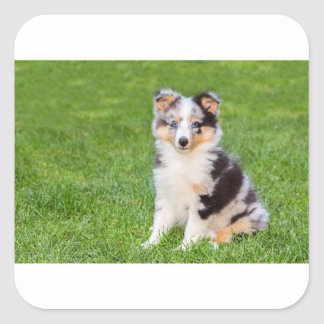 One young sheltie dog sitting on grass square sticker