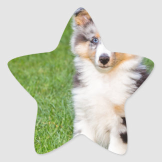 One young sheltie dog sitting on grass star sticker