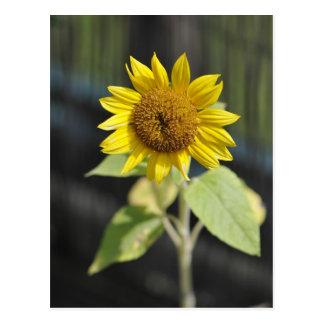 Opened sunflower postcard