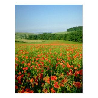 Orange Agricultural poppy field, Falmer Postcard