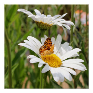 Orange and Black Butterfly on White Shasta Daisy