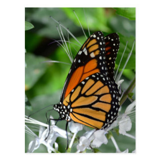 Orange and black spotted butterfly insect post card