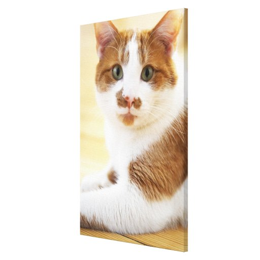 orange and white cat looking at camera stretched canvas prints