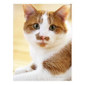 orange and white cat looking at camera postcard