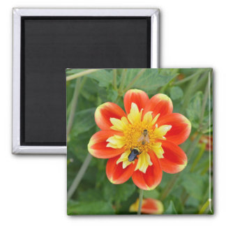 Orange and yellow dahlia magnet