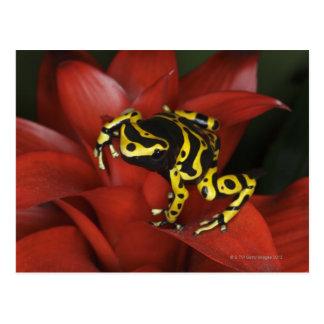 Orange banded dart frog  Dendrobates leucomelas Postcard