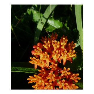 Orange Butterfly Weed Flower With Morning Dew Posters