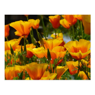 Orange California Poppies_3.1 Postcard