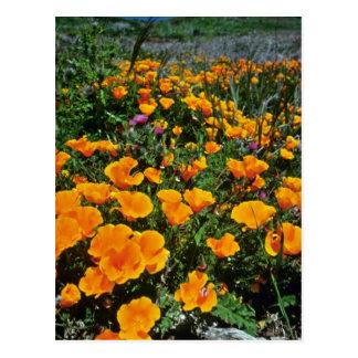 Orange California Poppies flowers Postcard