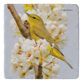 Orange-Crowned Warbler Amid the Cherry Blossoms Trivet