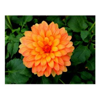 Orange Dahlia - Flower and Garden Postcard