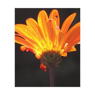 Orange Daisy Flower Stretched Canvas Prints