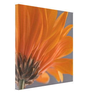 Orange Daisy on Gray Stretched Canvas Print